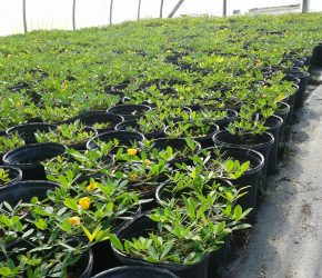 1 gallon Containers Perennial Peanut