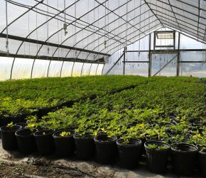 Greenhouse full of Ecoturf Perennial Peanut Containers