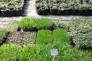 Your Guide to Selecting a Drought-Tolerant Sod Grass