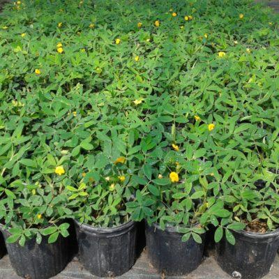 Ecoturf Perennial Peanut – 1 Gal Pot